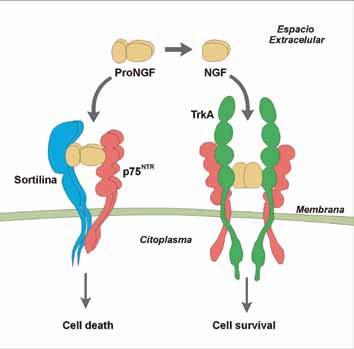 Esquema de las interacciones de ProNGF y NGF con los receptores Sortilina, p75NTR y TrkA